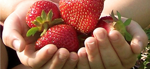 hands full of strawberries 1300 X 600